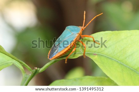 Turquiose Shield bug on a leaf in garden Merida, Mexico #1391495312