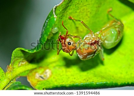 A red ant on leaf in nature #1391594486