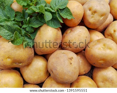 Raw potatoes pile harvest closeup & potatoes leaf on organic farm. Potatoes plant vegetable harvest from agriculture field. Potato crop ground top view. Fresh organic rural potatoes harvest in field. #1391595551