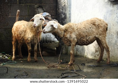 two sheep ready to be slaughtered for aqiqah, Indonesia #1391695022