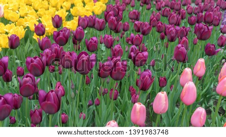 Many colorful tulips, Yellow tulips, Black tulips, Pink tulips #1391983748