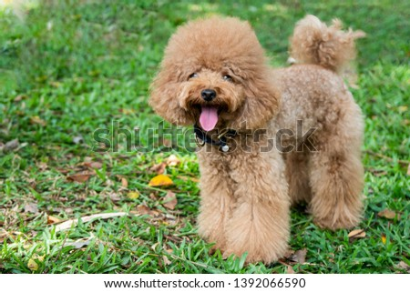 Happy brown poodle dog with curly fur and fluffy ears at green grass park on sunny day  #1392066590