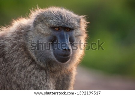 A baboon poses for a photo during sunset