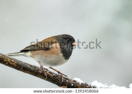 a junco bird perched on a snow covered branch during a snow storm #1392458066