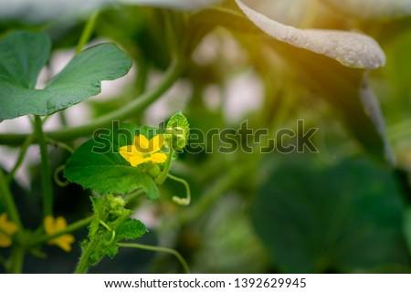 Melon flower, melon plant growing in organic garden, growing melon seedlings on the farm. fresh melons or green melons or cantaloupe melons plants grow. #1392629945