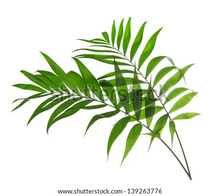 Green leaves of palm tree Howea isolated on white #139263776