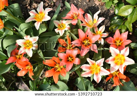Tulips. Single Red and yellow flowers opened from top. #1392710723