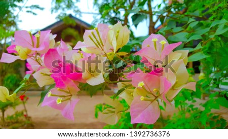 Bougainvillea is a semi-perennial shrub type. Size from small shrubs to large shrubs There are thorns along the trunk, single leaves break out, alternating with branches or indentations. #1392736376