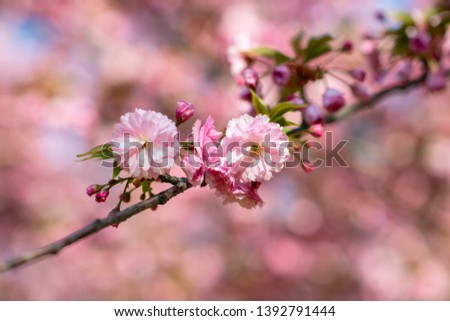 Sakura, cherry blossom, cherry tree with flowers. Oriental cherry blooming. Branch of sakura with white and rose flowers, beauty in nature, beautiful spring nature background #1392791444