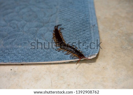 The big black centipede climbing on the foot towel in the house. Royalty-Free Stock Photo #1392908762