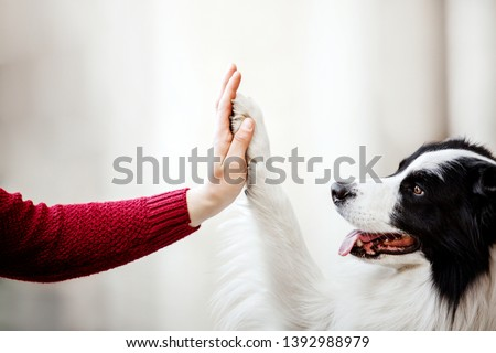 Paw and hand. Border Collie dog gives paw. Hand of owner holding a paw of dog Royalty-Free Stock Photo #1392988979