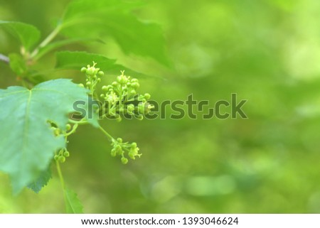 Green background, fresh background, beautiful flower, background as flowering buds of Korean trees  #1393046624