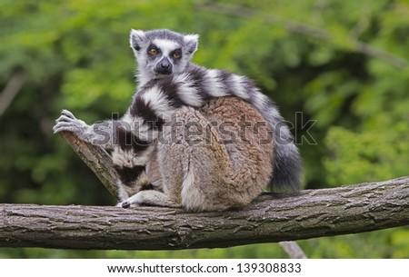 lemur sitting on the branch #139308833