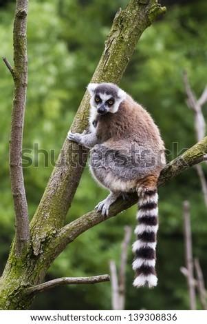 lemur on the tree #139308836