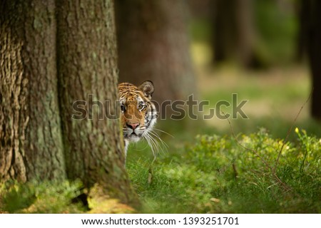 Tiger peeping from behind a tree. Dangerou animal in the forest. Siberian tiger, Panthera tigris altaica #1393251701