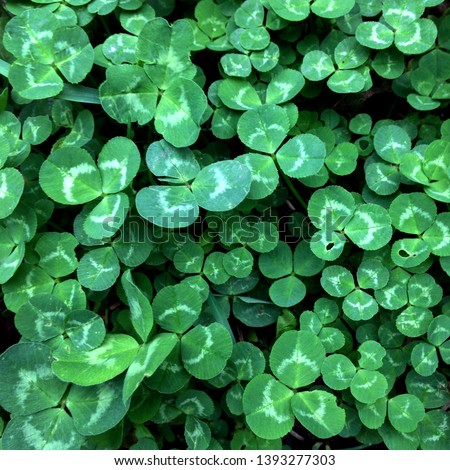 Macro photo of nature plant green clover. Background texture Clover with dew drops. Clover for good luck growing in the meadow #1393277303