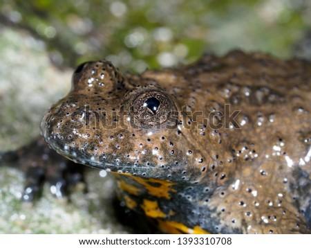 Yellow-bellied toad, Bombina variegata, Bulgaria, April 2019 #1393310708