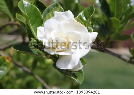 closeup of single Gardenia jasminoides 5205 #1393394201