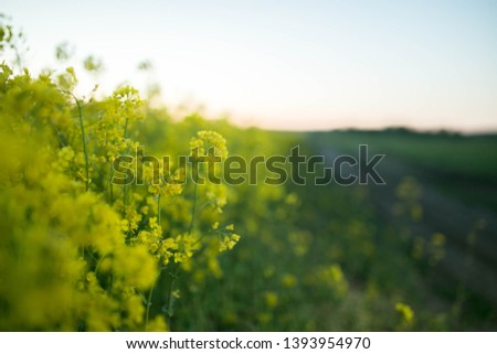 yellow flowers in a rapeseed field during flowering #1393954970