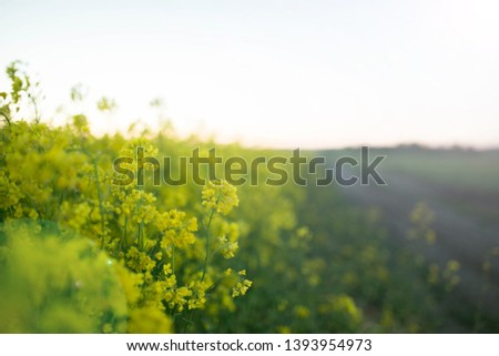 yellow flowers in a rapeseed field during flowering #1393954973