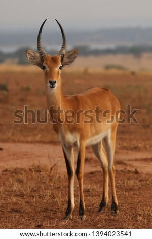 The Ugandan kob, a subspecies of the kob, a type of reddish antelope occurring in sub-Saharan Africa. Picture from its natural environment.