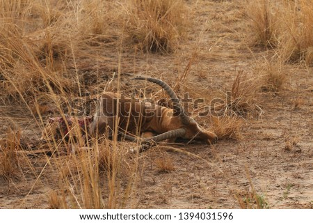Dead Ugandan kob, which served as a prey for lions. A picture from safari in Uganda.