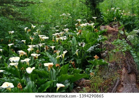 Calla Lilies bloom at Kirby Cove in Marin County Royalty-Free Stock Photo #1394290865