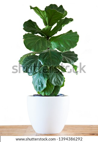 A Fiddle Leaf Fig or Ficus lyrata pot plant with large, green, shiny leaves planted in a white pot sitting on a light timber floor isolated on a bright, white background.  #1394386292