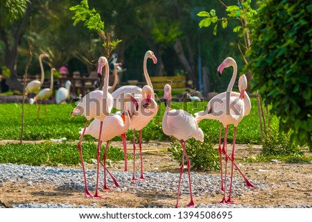 Greater Flamingo:  Pink big bird Greater Flamingo, Al Areen Wildlife Park, located in Sakhir, Bahrain. Wildlife animal scene. January 2019. #1394508695