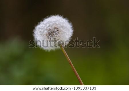 Dandelion (Taraxacum Officinale) Seed ,Closeup of a dandelion (Taraxacum officinale) seed head