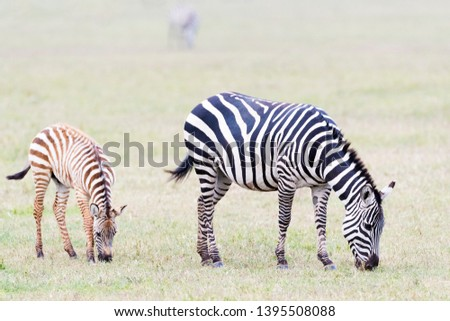 Common or Plains Zebra (Equus quagga) with foal grazing on the plain in the Ngorongoro crater, Ngorongoro crater national park, Tanzania #1395508088