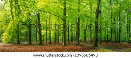 panoramic view of sun shining through vibrant green leaves in a beech forest in Epe, Veluwe, Gelderland, The Netherlands #1395586493
