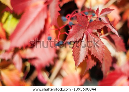 Red girlish grape leaves on blurred background close up, colorful autumn orange leaves, fall season yellow foliage, autumnal nature design, Parthenocissus, Virginia creeper climber plant, copy space #1395600044