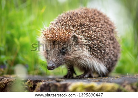 Cute common hedgehog on a stump in spring or summer forest during dawn. Young beautiful hedgehog in natural habitat outdoors in the nature. #1395890447