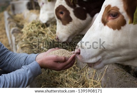 Farmer holding dry food in granules in hands and giving them to cows in stable Royalty-Free Stock Photo #1395908171