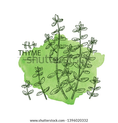 Watercolor background with of thyme: leaves and plant of thyme. Vector hand drawn illustration. #1396020332