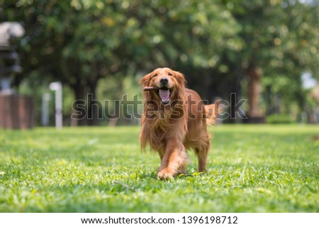 Golden retriever dog playing with branches in the grass #1396198712