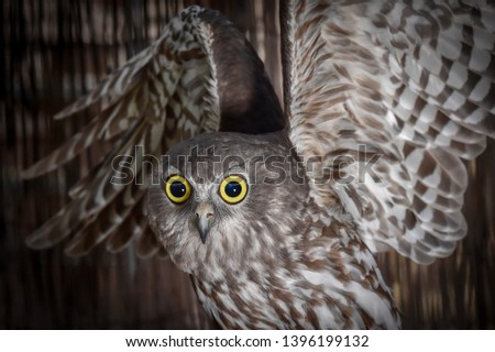 Barking Owl, Owl, Talons, Nocturnal, Birds, Bird, Feathers, Feather, Predator, Predators, Flight, Wings, Eyes, Closeups, Royalty-Free Stock Photo #1396199132
