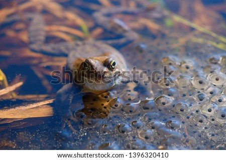 The European common frog (Rana temporaria) is in the spawn covered pond in spring. #1396320410