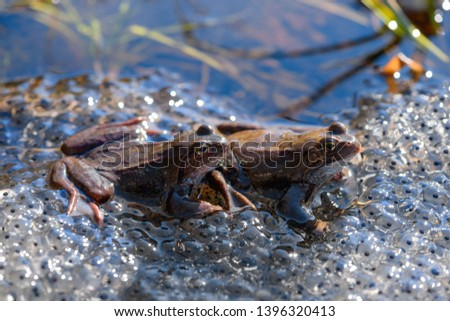 Two common frogs (Rana temporaria) and their spawn are in the pond. #1396320413