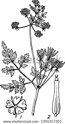 Chervil is herb used to season mild to flavouring dishes vintage line drawing or engraving illustration.  #1396357301