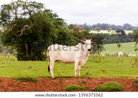 Nelore raised for fattening. Bovine originating in India and race representing 85% of the Brazilian cattle for meat production. #1396371062