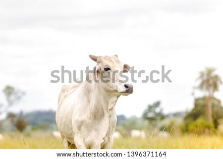 Nelore cattle in fattening production for slaughter. Livestock of Brazil. Space for text. #1396371164