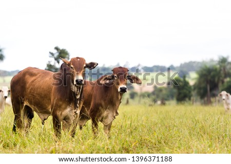Cattle in farm of Brazil. Cattle breeding (cattle breeding) is part of the country's economy. #1396371188