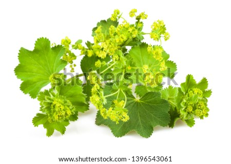 Lady's Mantle with flowers  isolated on white background #1396543061
