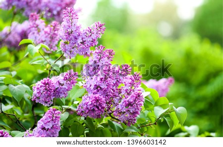 Lilac flowers spring blooming scene. Blossom lilac flowers in spring. Spring lilac flowers blooming. Spring lilac bush blooming #1396603142