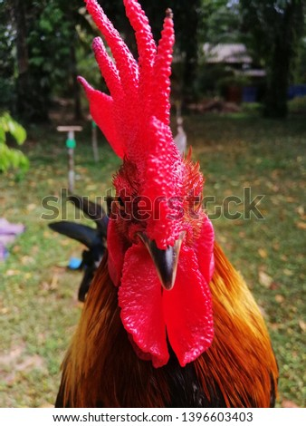 A chicken of a small breed, of which the cock is noted for its aggressiveness. #1396603403
