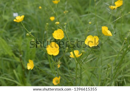 Yellow flowers branch on green grass background. Ranunculus acris, meadow buttercup, tall buttercup, common buttercup, giant buttercup #1396615355