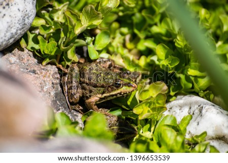 Common frog, Rana temporaria, also known as the European common frog, European common brown frog and European grass frog, on a pond filled with spawn #1396653539