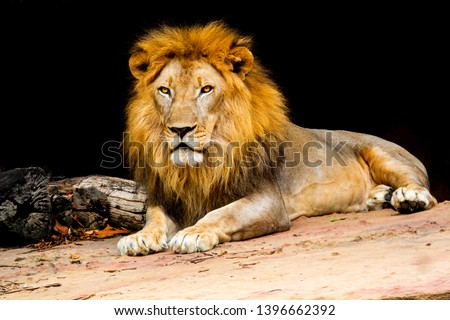 Lion on stone nature, lion is mammal wildlife type of cat, Beautiful fur on head and king of animals, lion is predator and carnivore in nature and dangerous for people in forest on hills
